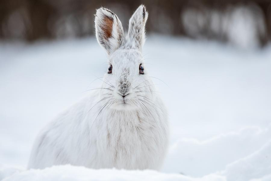 A snowshoe hare in a field of snow