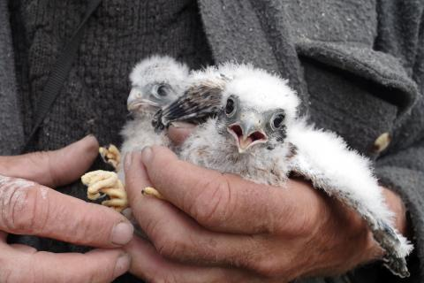 Yukon researcher Dave Mossop holds a pair of kestrel hatchlings