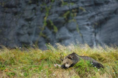 bear naps next to salmon kill