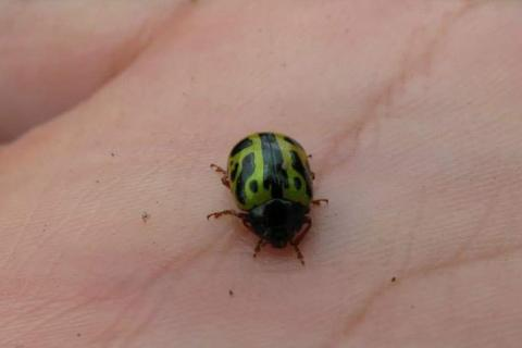 Ladybug from tribe Chrysomelini, as identified by iNaturalist
