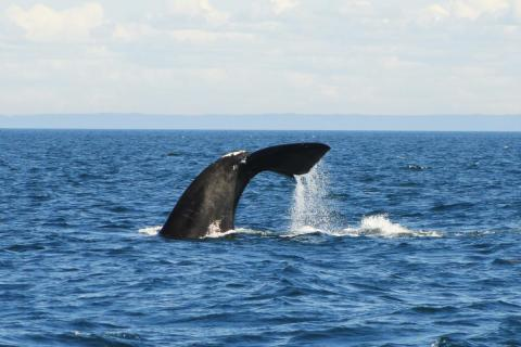 North Atlantic right whale in Gulf