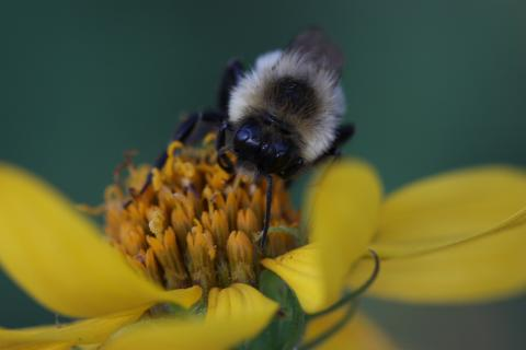 Common Eastern Bumblebee male foraging from Woodland Sunflower. Photo by Sheila Colla)