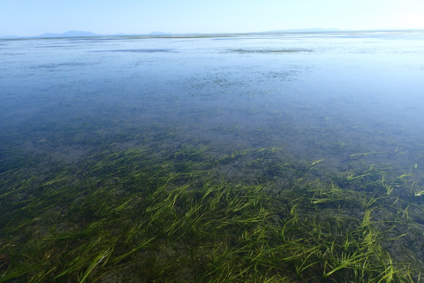 An eelgrass meadow, a type of seagrass found in the northern hemisphere including in Boundary Bay, British Columbia shown here at low tide. (Photo: Katie Tjaden-McClement)