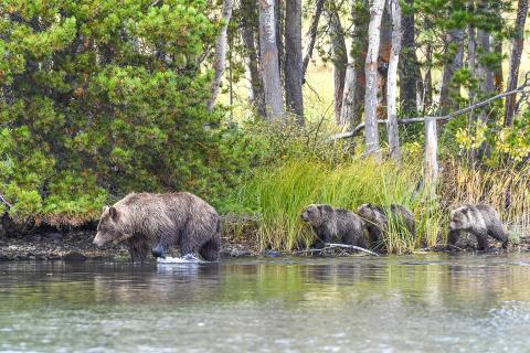 Grizzly triplets follow their mother in search of salmon