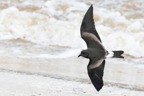 Newfoundland, Leach's storm-petrels, climate change
