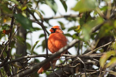 A northern cardinal in a tree