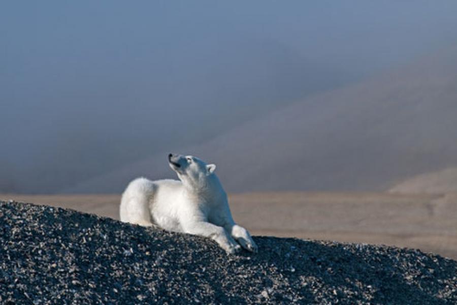 Polar Bear near Beechey Island, Nunavut.