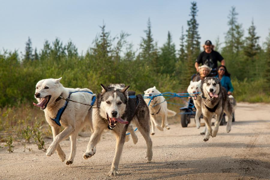 At Bluesky Expeditions, 30 huskies and husky-crosses mush year-round, pulling sleds in winter and wheeled carts in summer. (Photo: Remy Scalza/Canadian Geographic)
