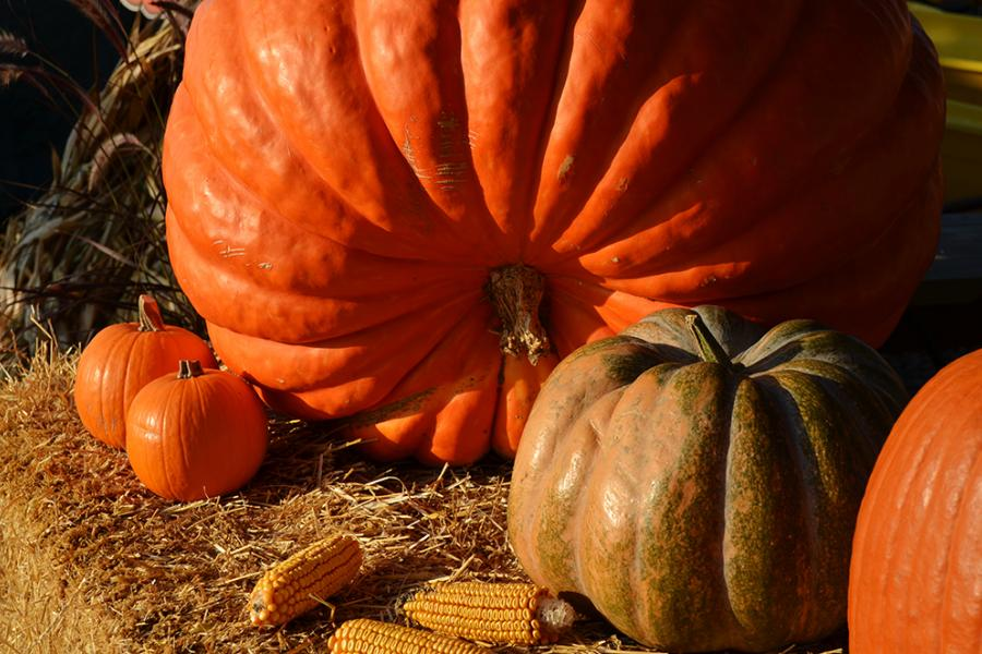 Use ontario pumpkins to make the perfect pumpkin cheesecake (recipe below)