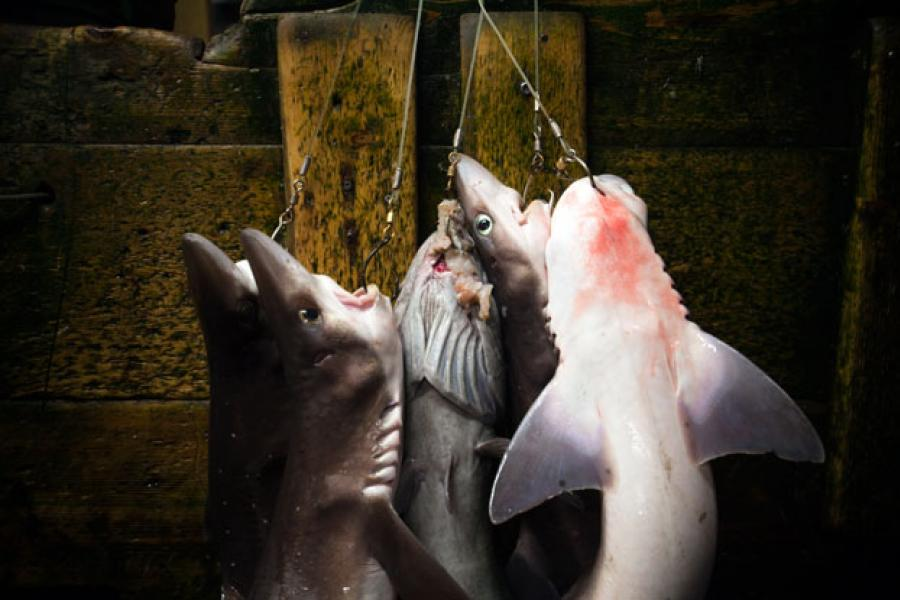 The spiny dogfish made history when it was certified as the world's first sustainable shark fishery in 2011