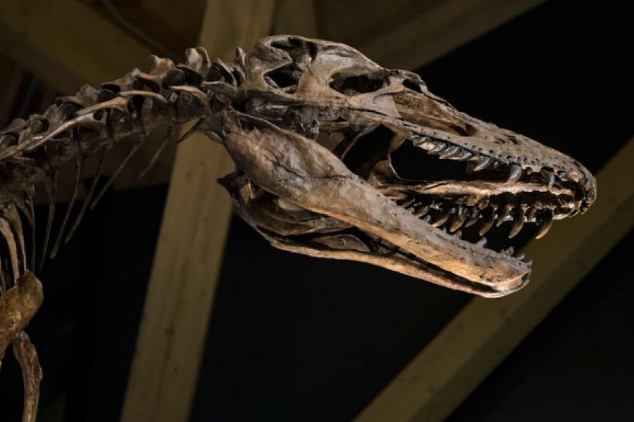An exhibit within the newly opened Philip J. Currie Dinosaur Museum. (Photo: Guillaume Nolet)