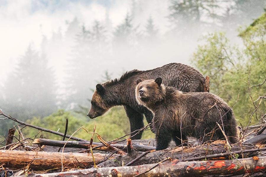 A female grizzly and her cub