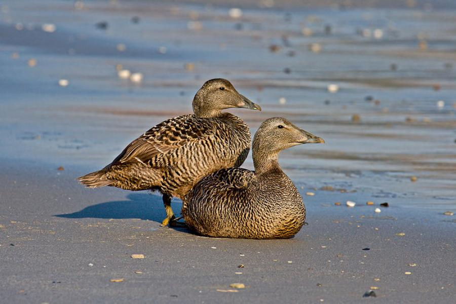 The common eider was one of the bird types collected for study. (Photo: Andreas Trepte)