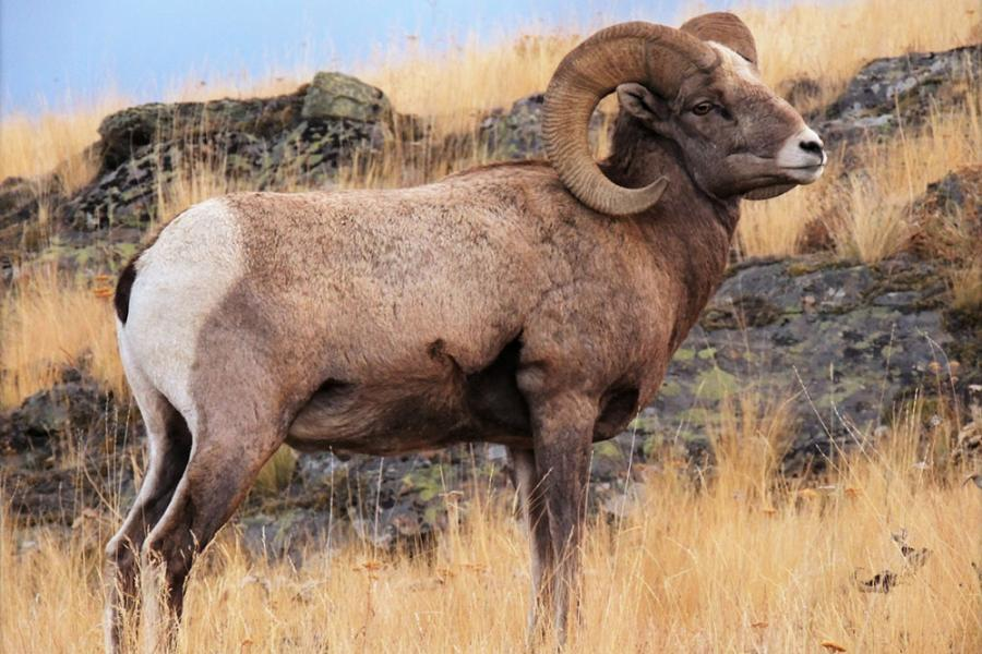 UAlberta researchers compiled the full genome of the bighorn sheep using its domestic cousin as a reference point. (Photo: Joshua Miller)