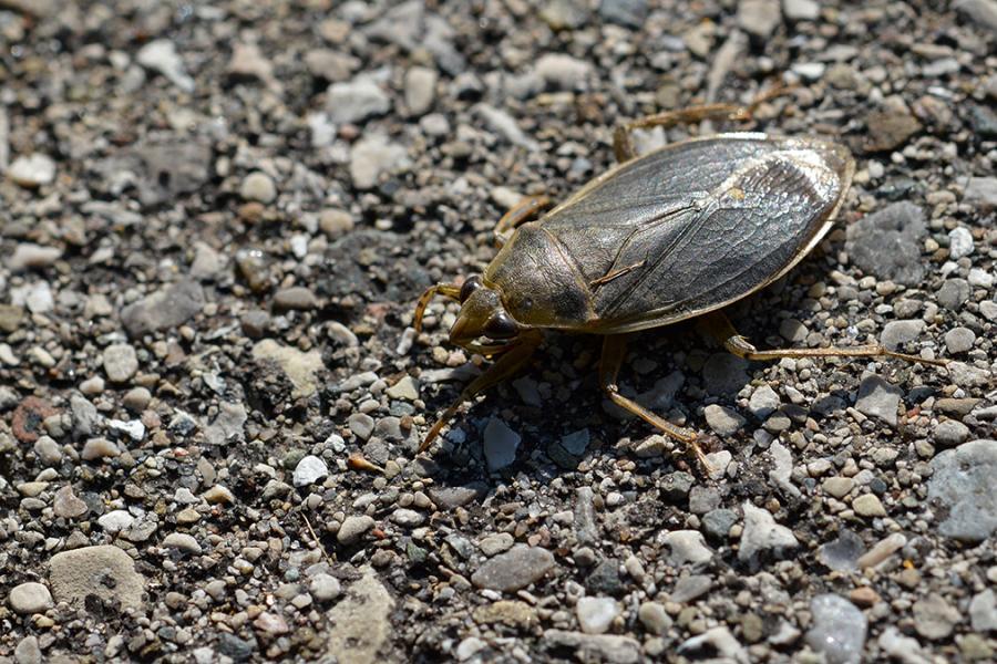 Giant Water Bug in London, Ontario. (Photo: Ryan Hodnett/Wikimedia Commons)