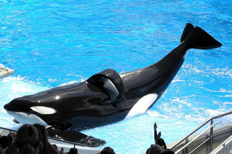 Tilikum, a captive killer whale
