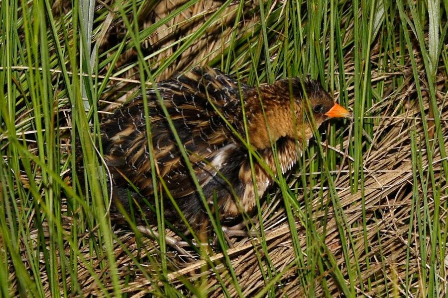 Yellow rails are among the species researchers are tracking using bioacoustics