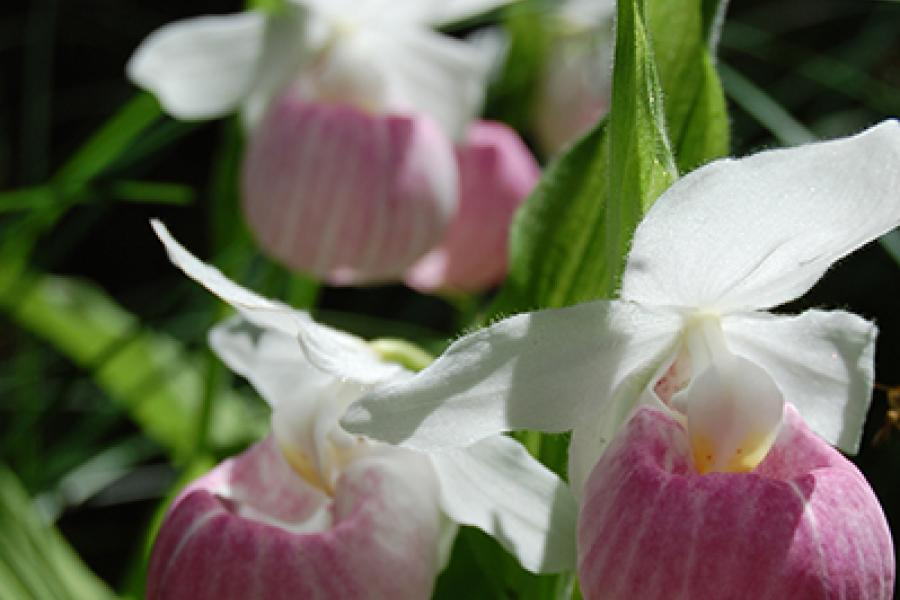 Showy Lady's Slipper Orchids.