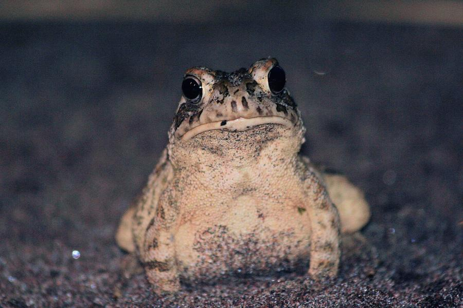 A Fowler's toad