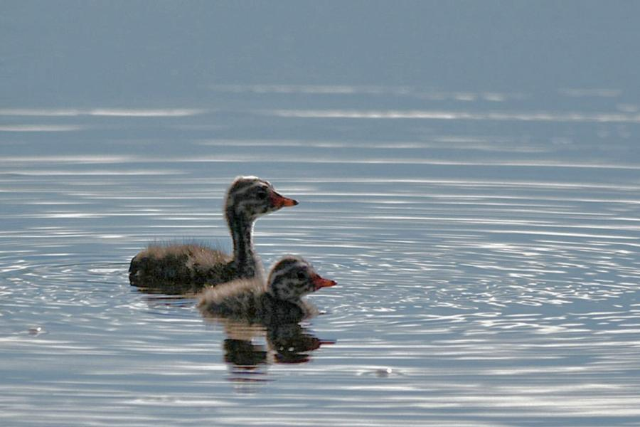A pair of horned grebe chicks on a pond