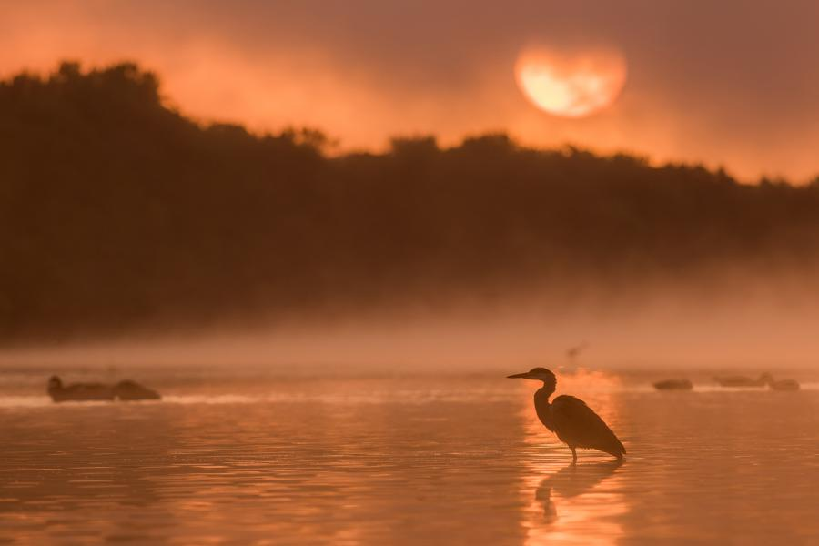 A heron wades in the Ottawa River at dawn