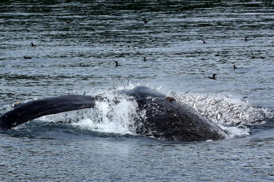 A humpback whale feeds on herring in the Johnstone Strait on the northeast coast of Vancouver Island