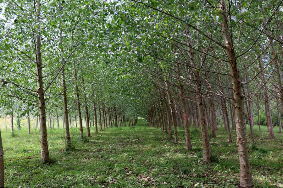 Poplar trees on the site of a former landfill in Salmon Arm, B.C.