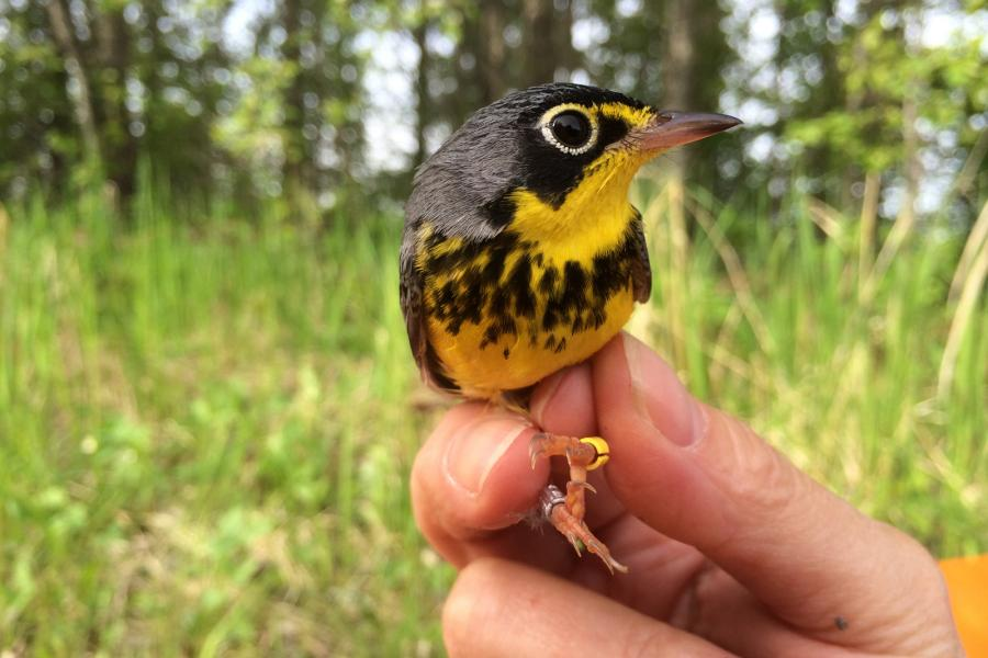 A researcher holds a Canada warbler that has been fitted with a tiny geolocator
