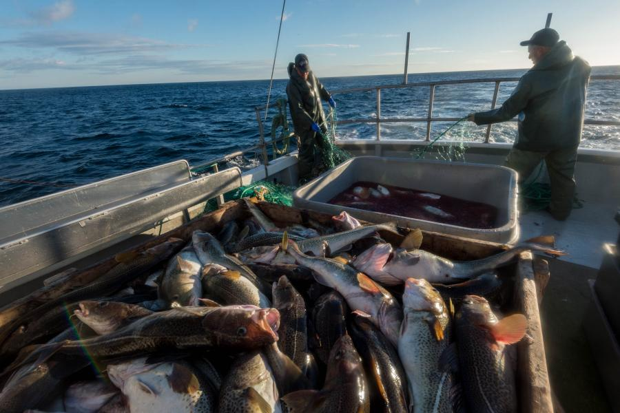 Fishermen harvest northern cod in southeast Newfoundland