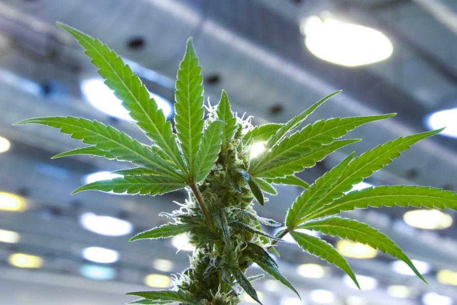 Marijuana plant at Tweed Inc.