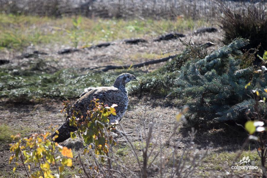 sage-grouse calgary zoo