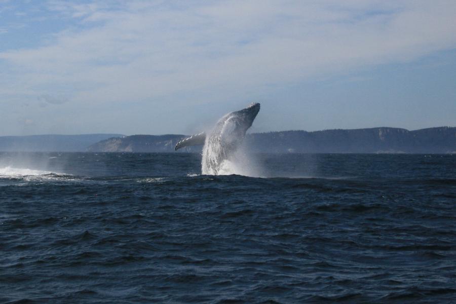 A humpback whale breaches off the Gaspé peninsula