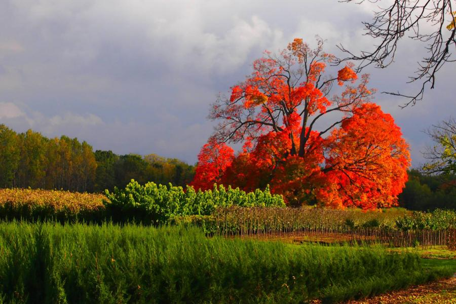 Comfort Maple in Fenwick, Ont., fall colours
