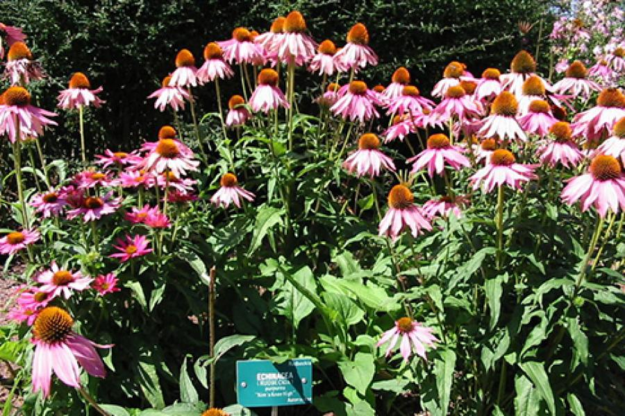 Echinacea in France