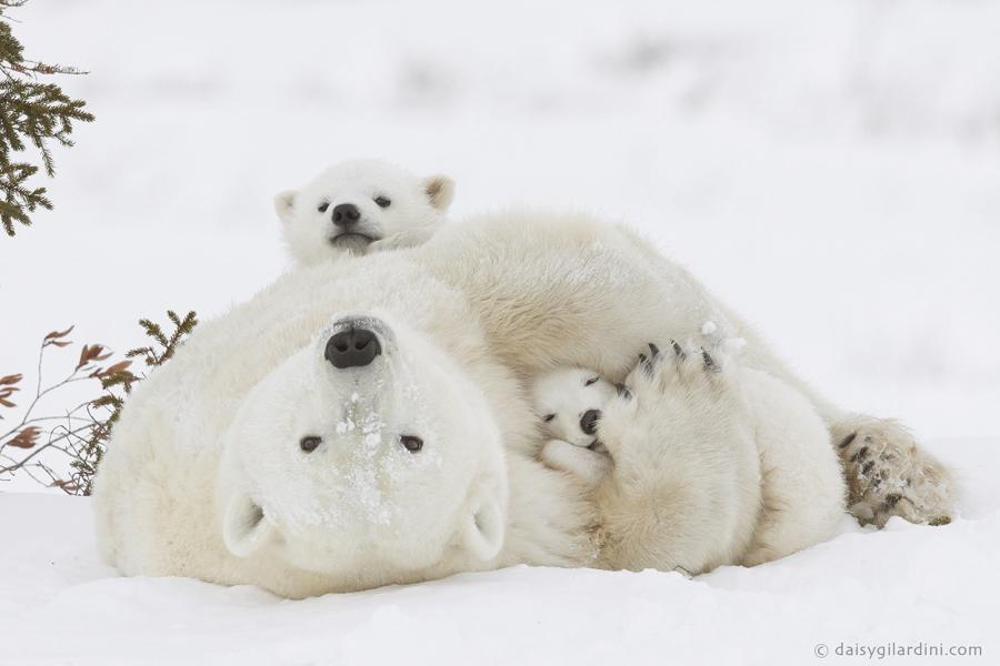 polar bear cub wapusk national park