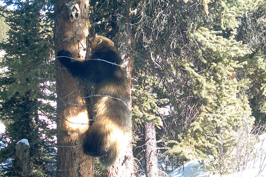 A wolverine climbs through a non-lethal hair trap, which helps scientists collect wolverine DNA