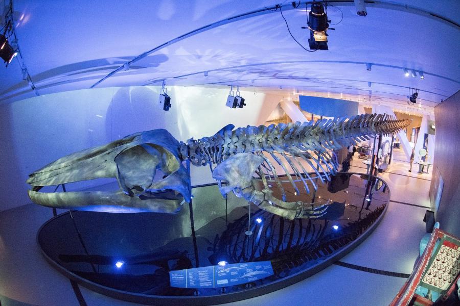 Blue whale skeleton on display at Royal Ontario Museum