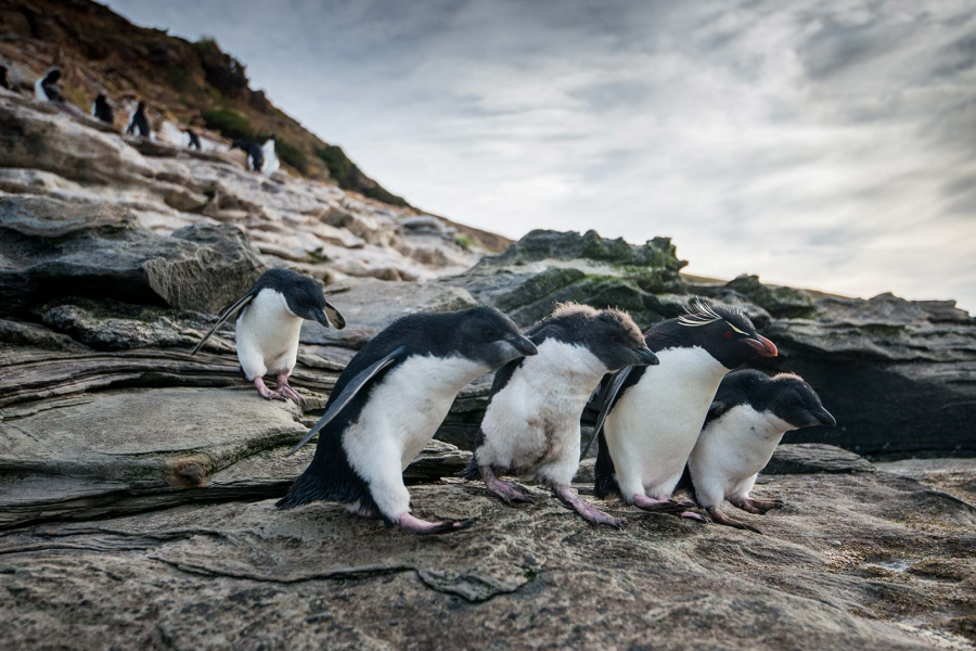 Rockhopper penguins in the Falkland Islands