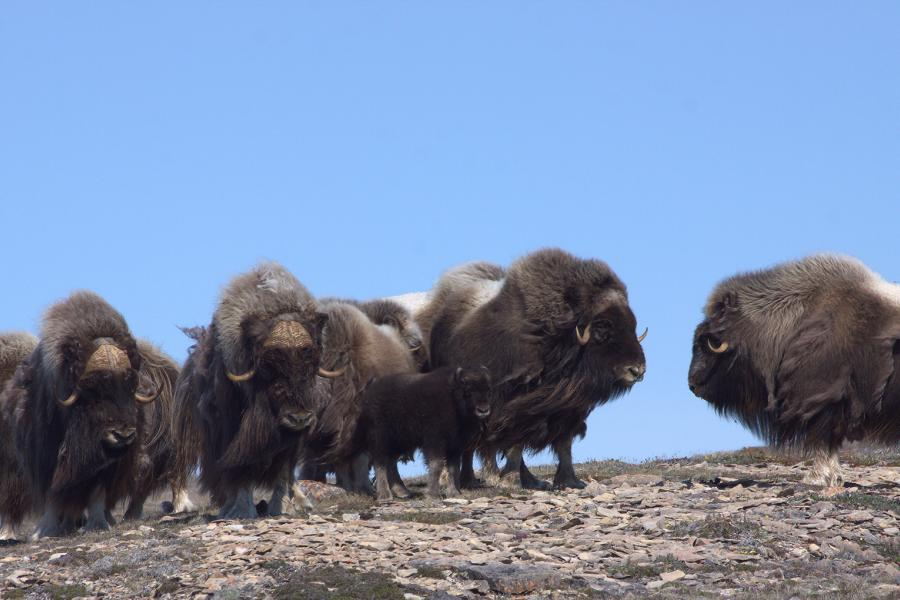 A herd of muskox on Victoria Island