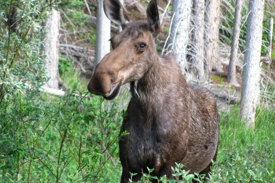moose alberta population app