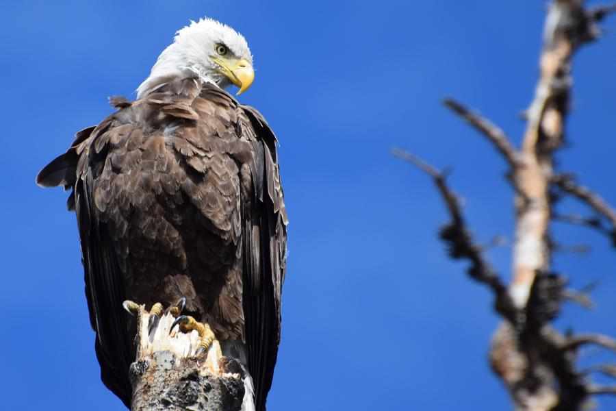 Bald eagle, nest, environment, science, scientist, Besnard Lake, Saskatchewan, Jon Gerrard, Elston Dzus