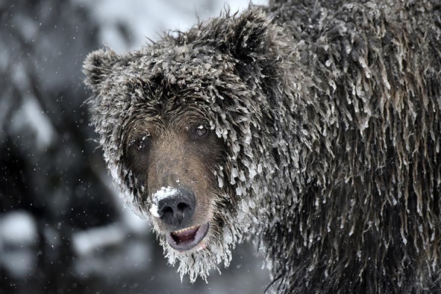 ice grizzly, yukon, valberg