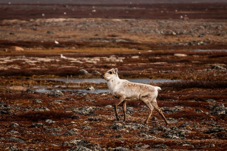 caribou in nunavut