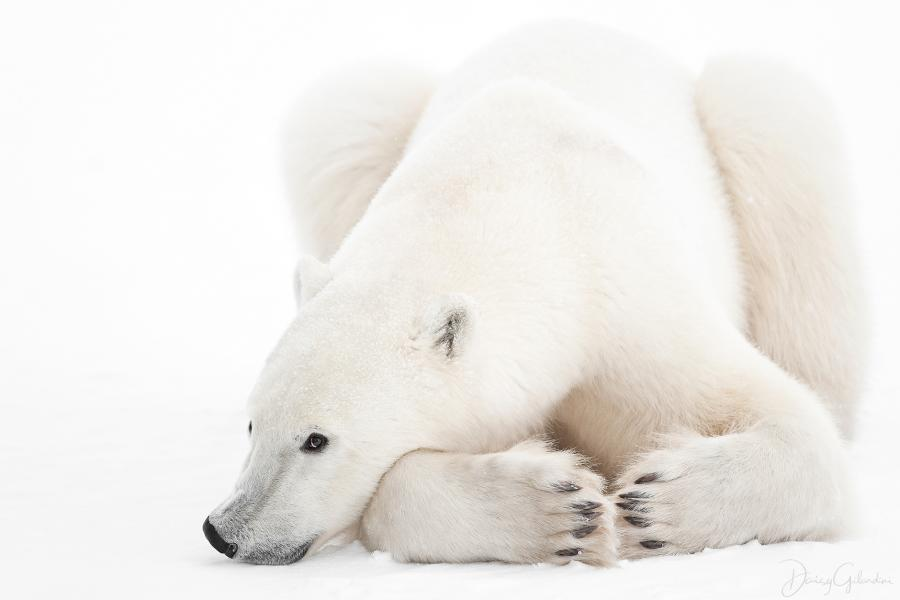 polar bear, wapusk national park, Best Wildlife Photography 2018, Daisy Gilardini