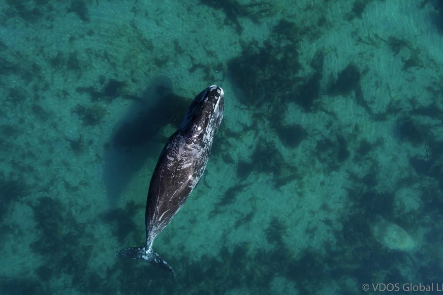 A bowhead whale in Cumberland Sound, Nunavut