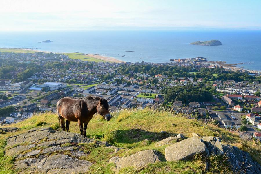 Exmoor pony above North Berwick, Scotland