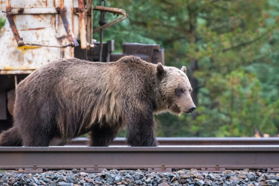grizzly bear on train tracks in Banff National Park