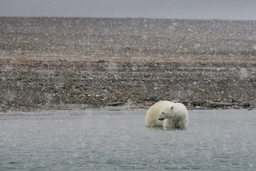 A polar bear wades in the Arctic as snow falls