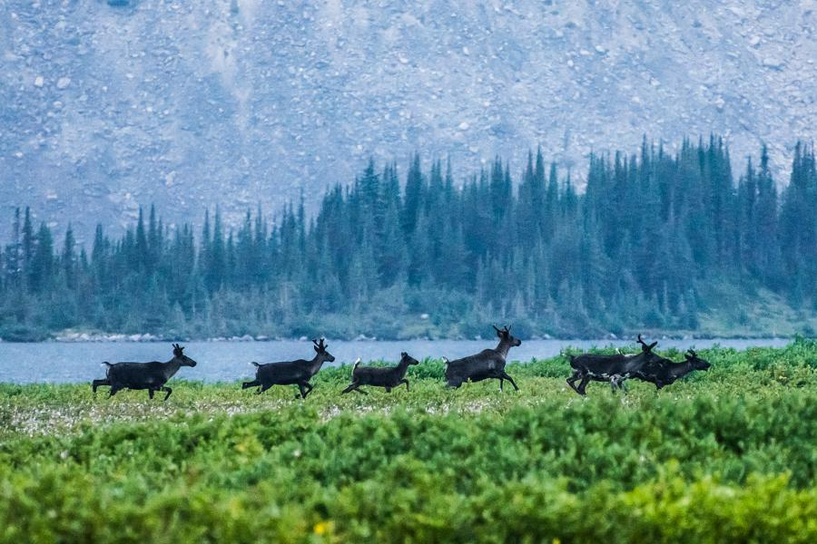 A small herd of mountain caribou running in Jasper national park