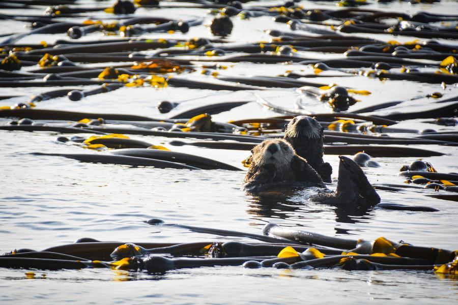 Sea otters play among the kelp in Tofino, B.C.